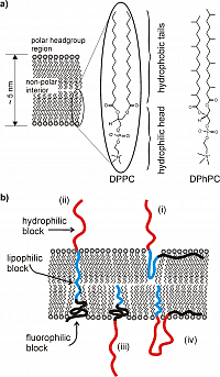 Figure 2: General possibilities for the organization of triphilic block copolymers in phospholipid bilayers.