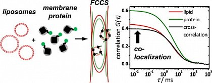 Using dual-color fluorescence cross-correlation spectroscopy (FCCS), the success of membran protein reconstitution can be assessed within minutes. (from Simeonov et al., Biophys. Chem. 2013, doi: 10.1016/j.bpc.2013.08.003)